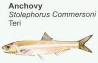 anchovy1